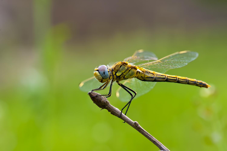 dragonfly - vážka